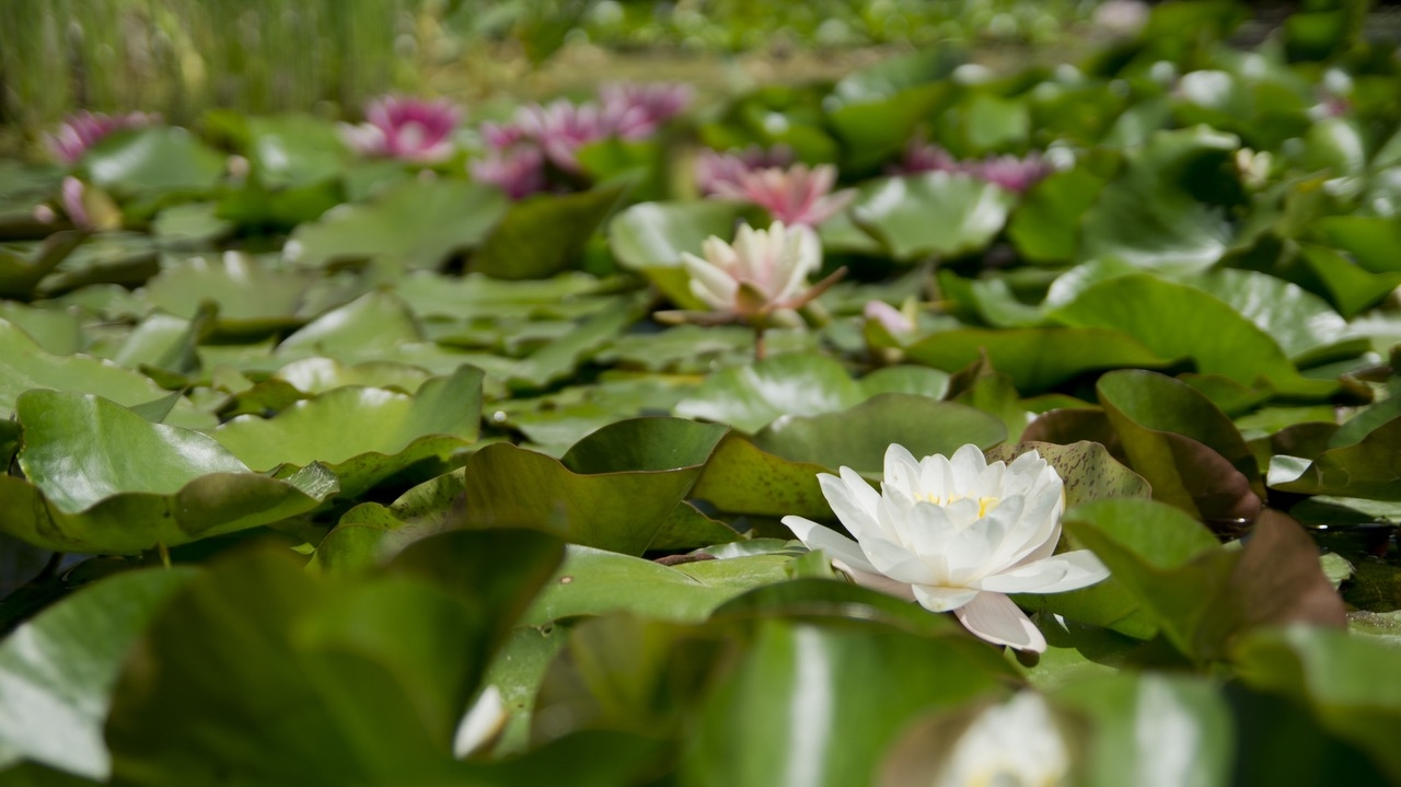 water-lily-flower-aquatic-plant-bloom-67221.jpg